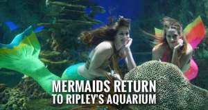 Mermaids Swimming Daily at Ripley's Aquarium of the Smokies