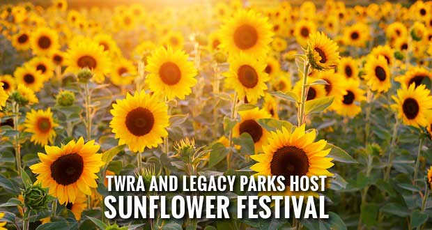Large Sunflower Fields in Bloom for Knoxville Sunflower Festival