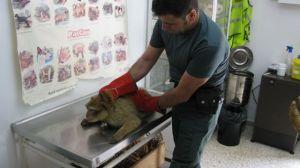Un agente del Seprona junto al ejemplar de Macaca Silenus incautado en Carmona/SA
