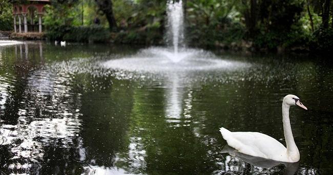 Entre los nuevos moradores del estanque se encuentran especies tan singulares y distinguidas como el cisne vulgar/SA