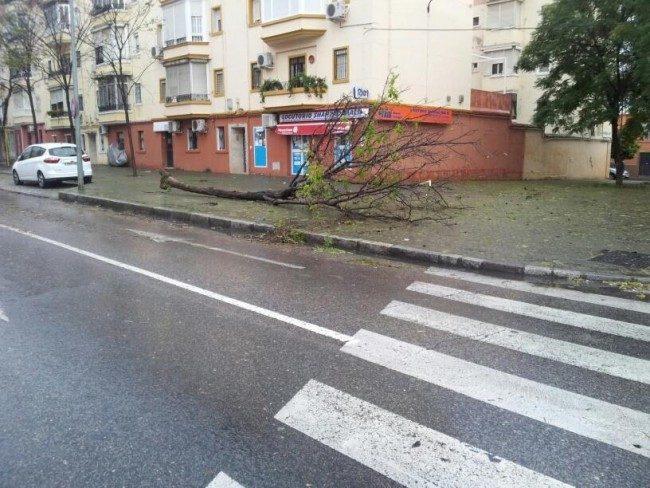 Un árbol caído en Federico Mayo Gayarre por el viento esta madrugada. / Jorge Gonzáles Maya (@jorgeglezmaya)