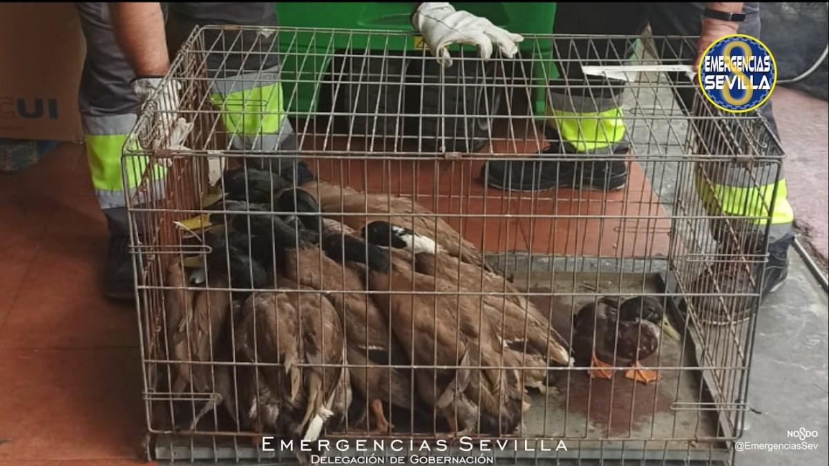 Patos enjaulados