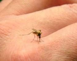 Maldito mosquito