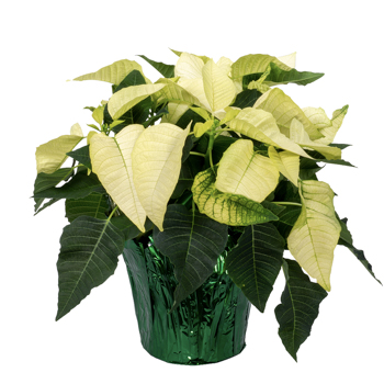 6.5 Inch White Poinsettia with Foil