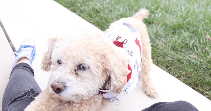 Dog modeling sweater.