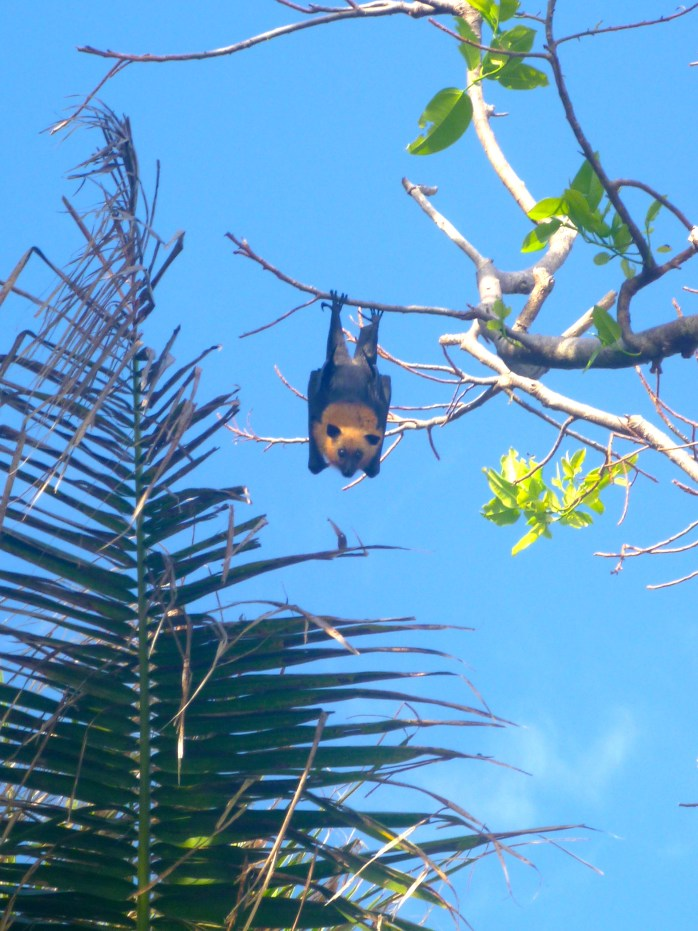 Boat Trips Fruit bat on Coco Island Seychelles