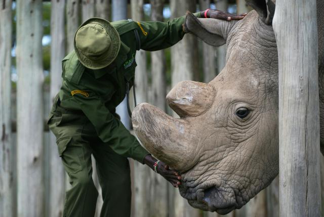 Los científicos crean embriones para salvar a los rinocerontes blancos del norte