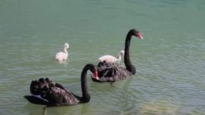 Siyah Kuğu ve Siyah Kuğu Yavruları