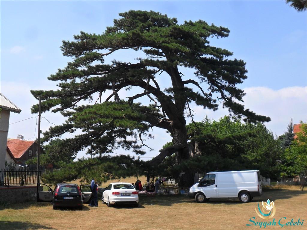 Dolubaba Hazretleri ve Çınar Ağacı