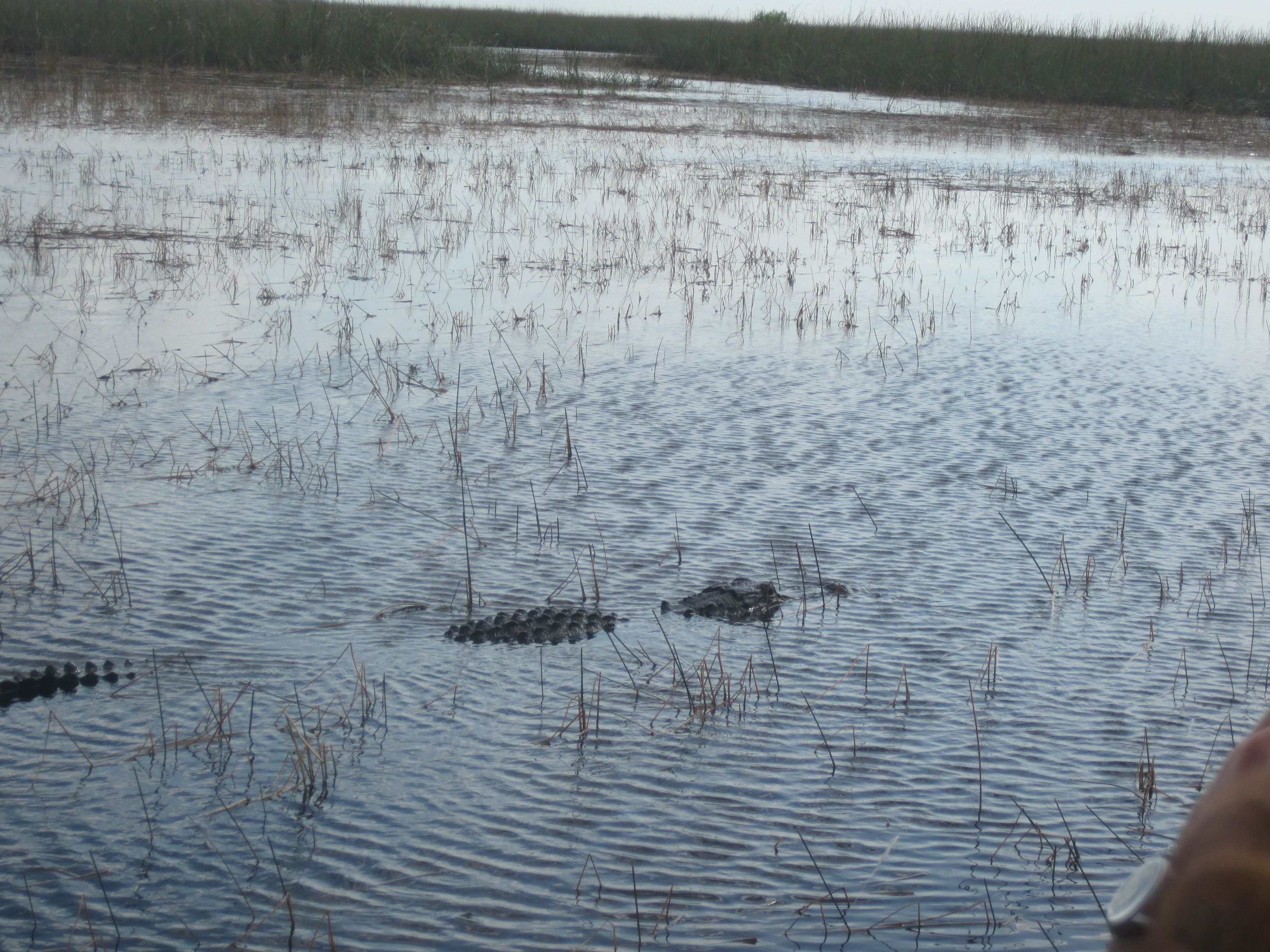 Gator in the wild.