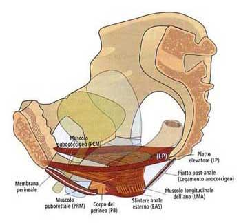 Risultati immagini per diaframma pelvico