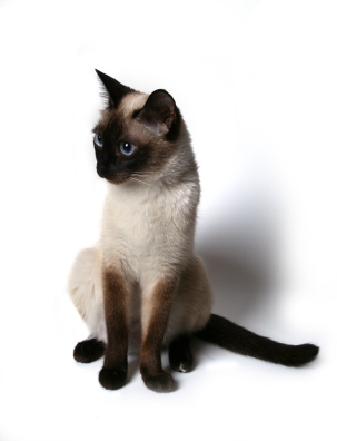 https://i2.wp.com/www.sfgate.com/blogs/images/sfgate/pets/2009/04/10/siamese.jpg