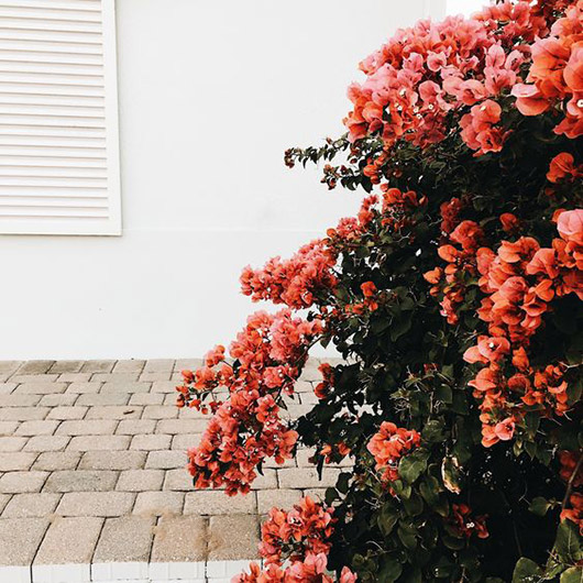 bougainvillea in full bloom. / sfgirlbybay