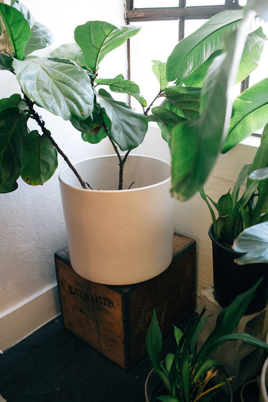 small fiddle leaf fig tree in pot. / sfgirlbybay