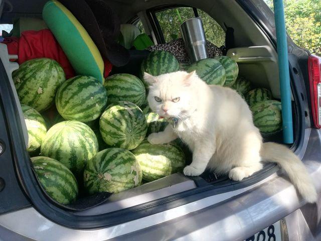 gatto che custodisce angurie