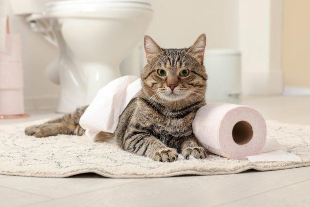 Perché il gatto mi segue in bagno
