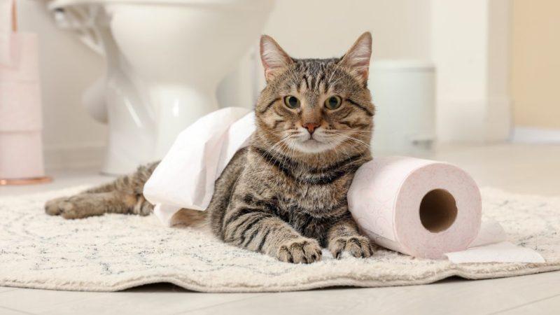 Perché il gatto mi segue in bagno: svelato il mistero