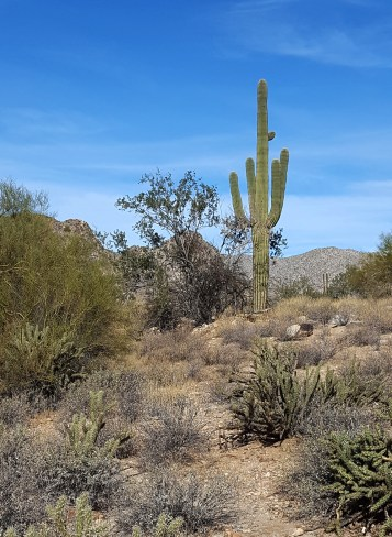 Saguaro everywhere!!