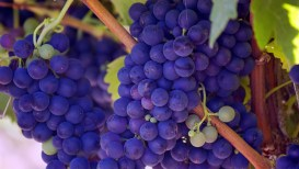 purplegrapes