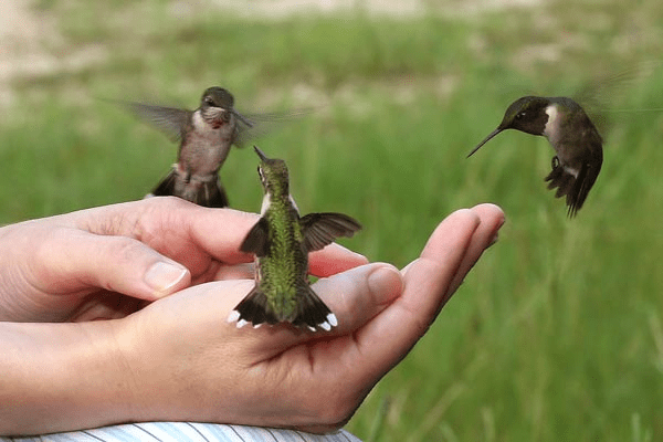 hummingbird_flying_hands