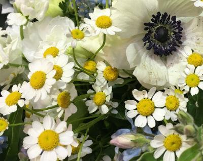 fresh_chamomile_flowers_anenome