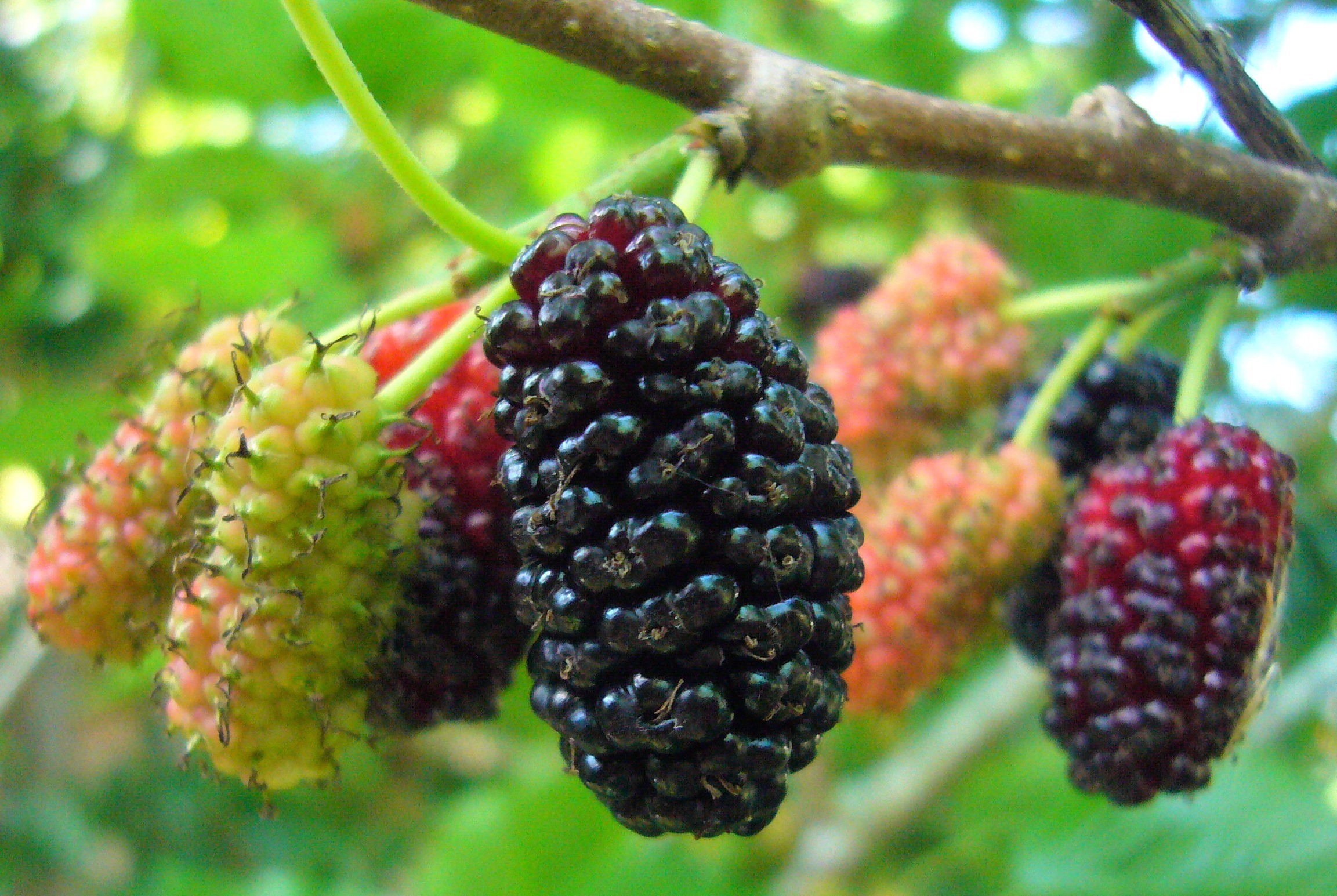 11 Health Benefits Of Mulberries
