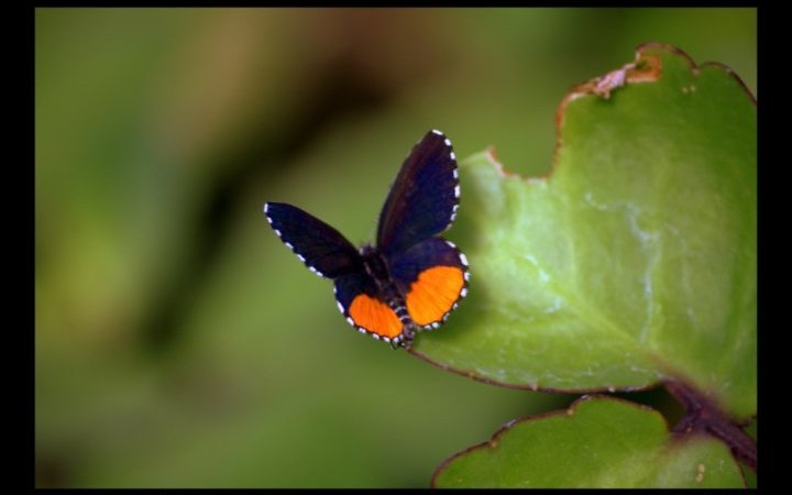 write-tribe-resource-festival-of-words-friday-fiction-blue-butterfly-red-pierot - in-bamgalore-butterfly-park