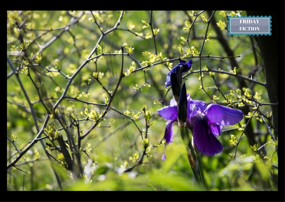 Purple-irises-in-srinagar-in-spring-in-2015-blogchatter-UBC-Friday-Fiction - fridayfiction