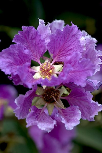 queen's crepe myrtle - banagalore- flowering trees- thursday tree love