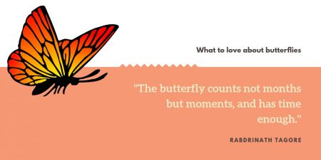 lepidoptera - butterfly- dodona durga- common punch - uttarakhand - carrot flowers - wildflowers