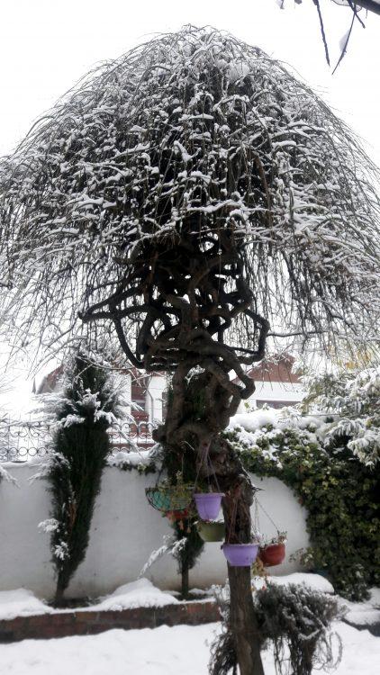 thursday tree love- umbrella tree- srinagar- kashmir