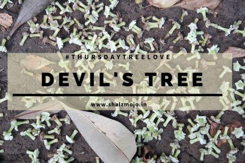 saptaparini-the devil's tree-fragrance-thursday tree love