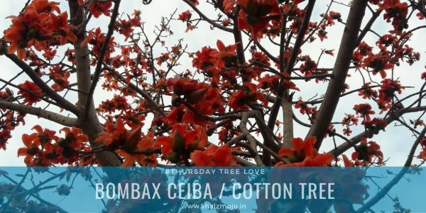 Bombax ceiba- silk cotton tree- redf lowers- thursday tree love