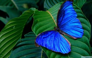 blue-colorful-butterfly_SMALLER