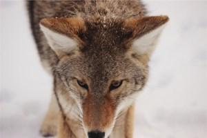 coyote_smaller