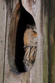 Owl Inside Tree