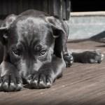 black Labrador covering nose as if guilty