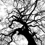 black and white tree branches from below