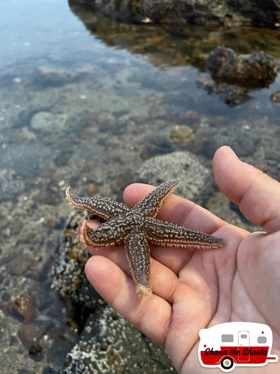 Baby-Starfish-in-Clear-Acadia-Water