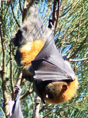 Fruit Bats sleeping in the Botanical Gardens