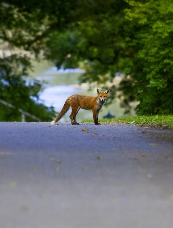 Fox on the Avenue, my first Fox photo - but its not Megan Fox !