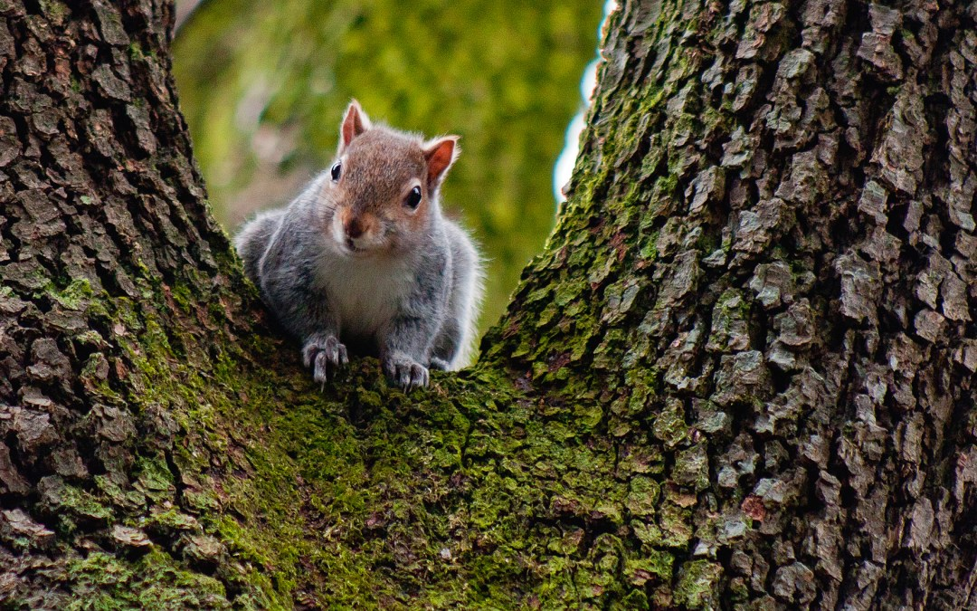 Grey Squirrel with a Red Head – 7/Project 52