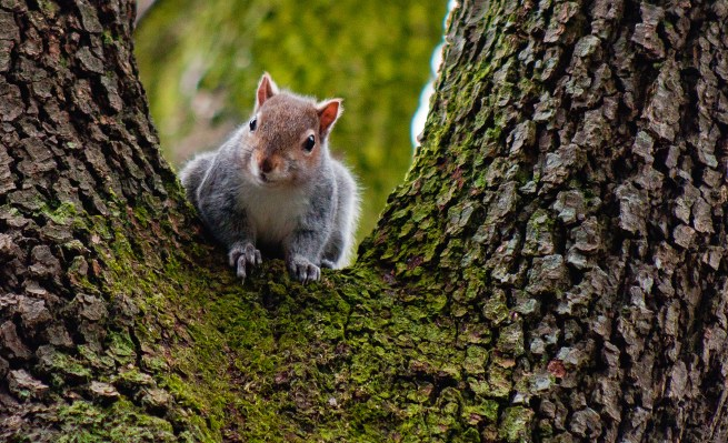 Grey squirrel with a red head - squirrel photo - photo of a squirrel, a grey / gray squirrel
