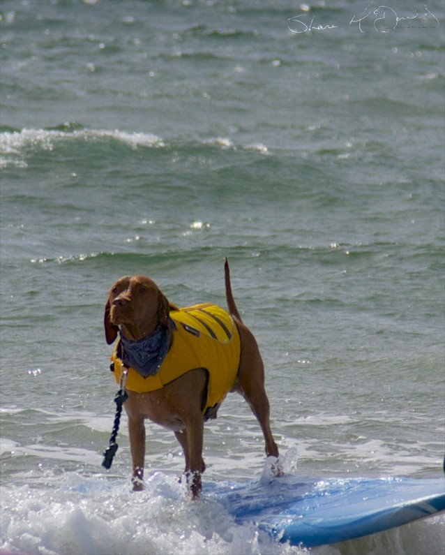 Tramore Dog Surfing - Yes, Dog Surfing! (5/5)