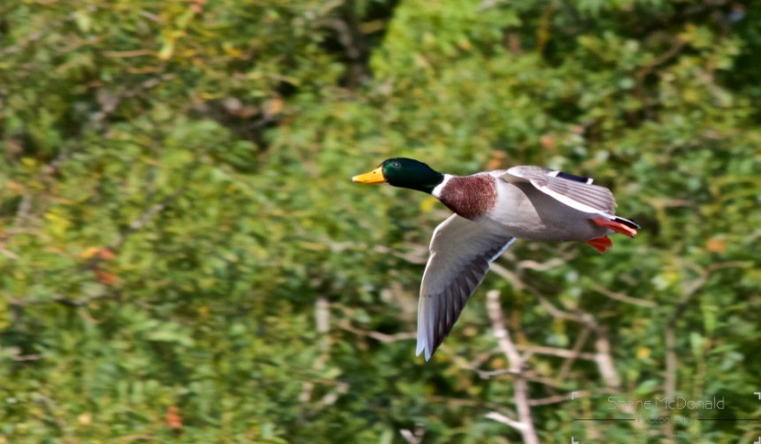 Flying duck pictured at Graiguenamanagh, Co. Kilkenny