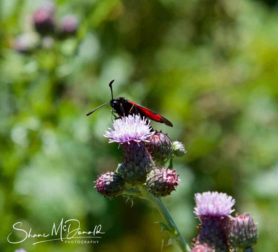 Wildlife Photography on the Isle of Wight - Red Winged Beetle / Butterfly - could be a Lycidae flying beetle
