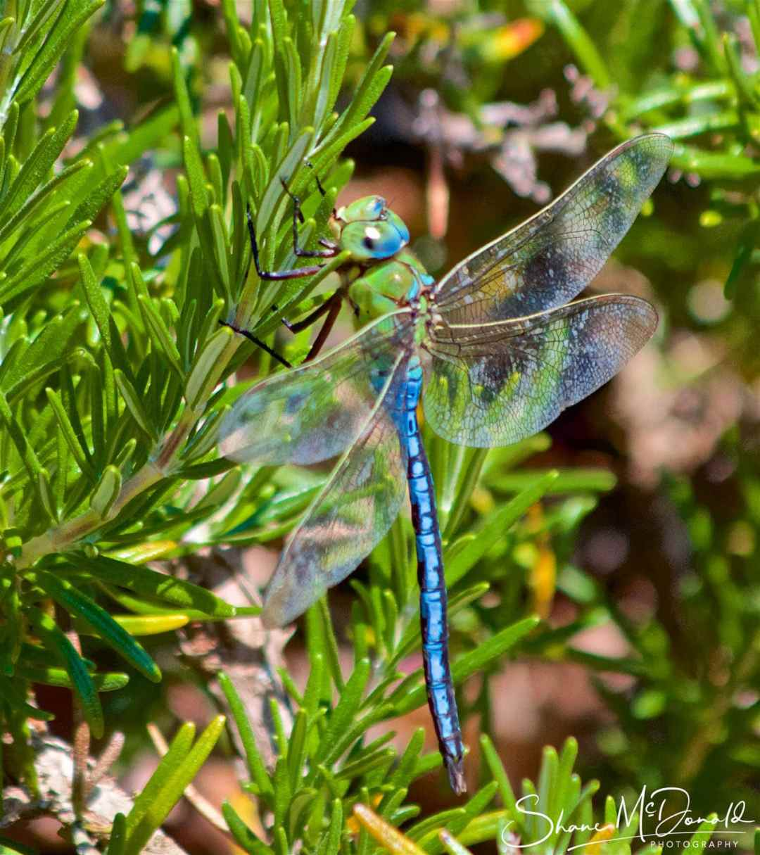 Dragonfly Photo on plant - Wildlife on the Isle of Wight