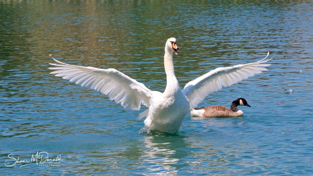 Wildlife on the Isle of Wight - Swan Flapping