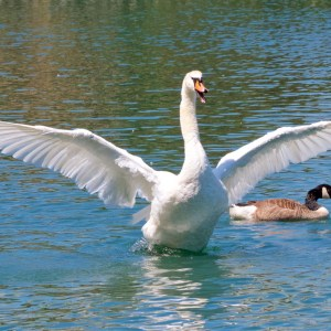 Wildlife Photography on the Isle of Wight - Flapping Swan