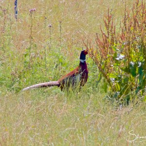 Wildlife Photography on the Isle of Wight - Pheasant